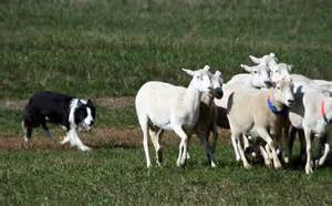 Herding dogs are controlled predators NOT sheep dogs.