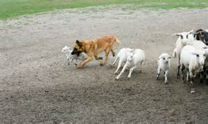 Herding dog disguised as a sheep dog
