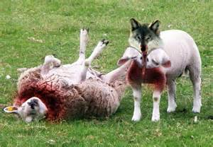 Predators / Wolves will prey upon sheep.