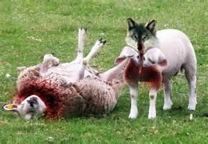 Predators / Wolves will prey upon sheep.