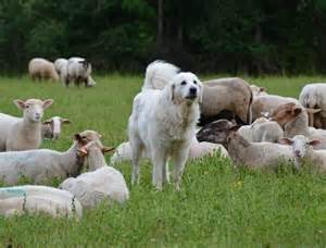 Sheep dog guarding and defending the flock of sheep.