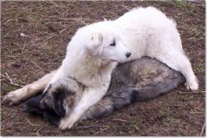Sheep dogs don't tolerate predators.