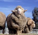 Merino Sheep produce merino wool